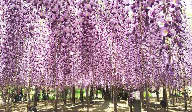 ●紫藤.芝櫻.粉蝶花