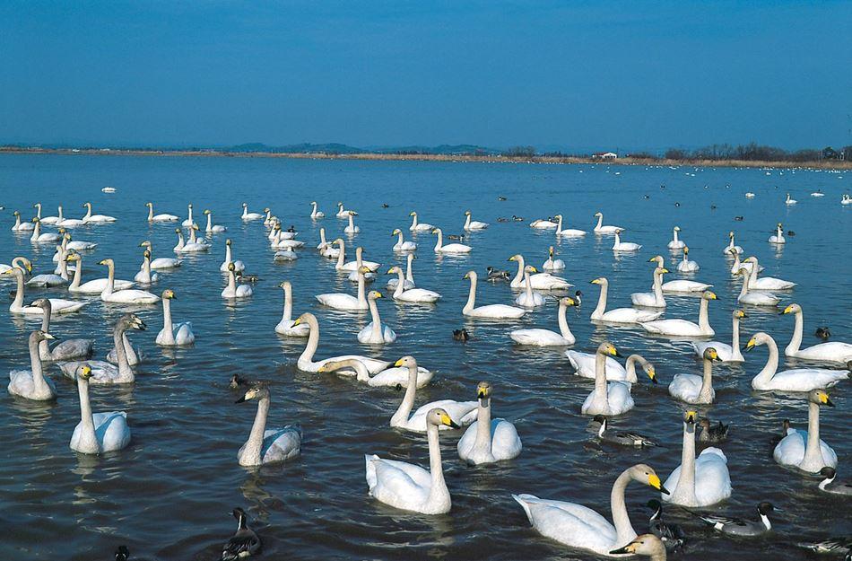 豬苗代湖觀賞白鳥