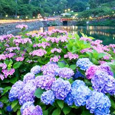 日本六月紫陽花季 (繡球花)