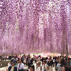 日本花見最前線