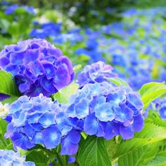 日本初夏 紫陽花物語