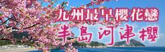 九州四浦半島河津櫻