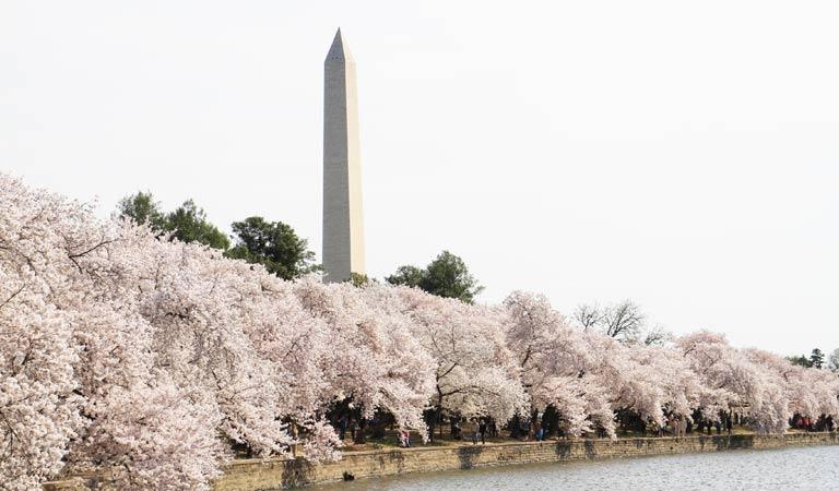 華盛頓櫻花季