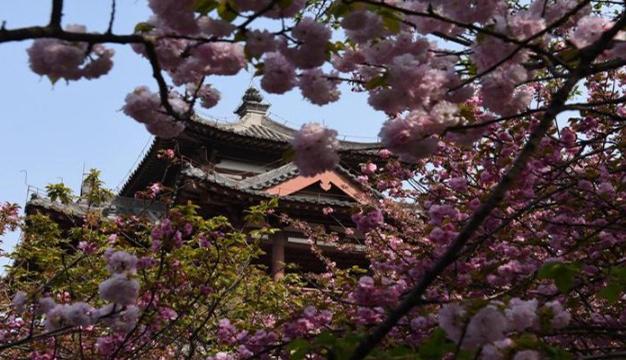 西安櫻花季