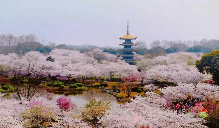 東湖櫻花+荊門油菜花
