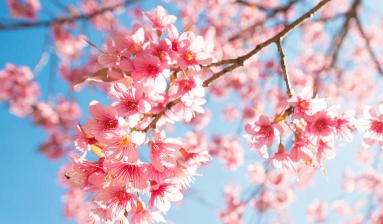 拉拉山【櫻花】