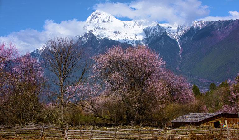 西藏桃花季